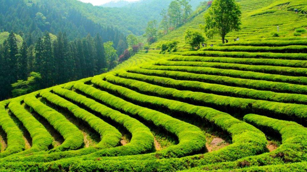 Чайные плантации Сочи Мацеста
